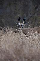 inferior whitetail buck