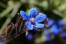 Boraginaceae, ruwbladigenfamilie