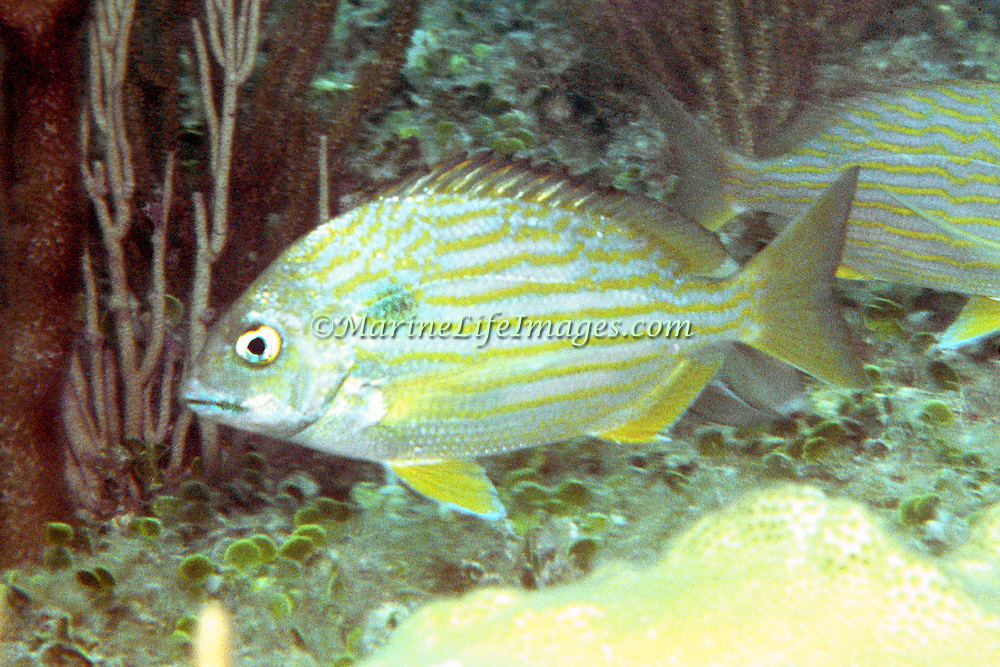 Sea Bream inhabit seagrass beds, mangroves and ocassionally shallow reefs in Florida and Caribbean; picture taken Hollywood, Florida.