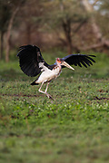 Marabou Stork, Maraboustork, Leptoptilos Crumeniferus, taking off in Ndutu south-eastern Serengeti