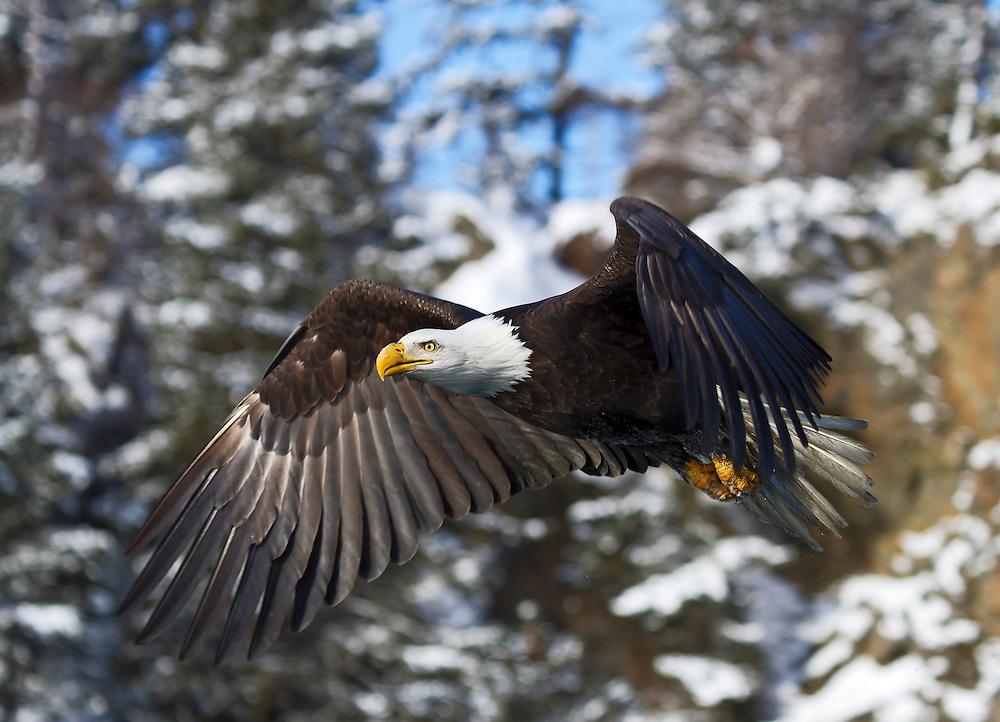 Alaska. Bald Eagle (Haliaeetus leucocephalus) flying during winter, Kachemak Bay.