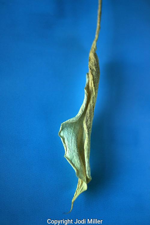 A dried desert flower on blue.