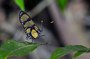 The butterfly Methona confusa from the rainforst of Rio Cristalino, southern Amazon, Brazil.