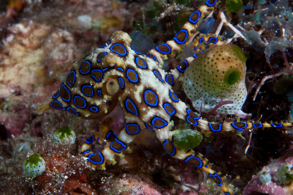 These small but highly venomous animals use vivid electric-blue markings as warnings.  Their venom is powerful enough to kill an adult human.