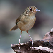 The buff-breasted babbler (Pellorneum tickelli) is a species of bird in the family Pellorneidae.
