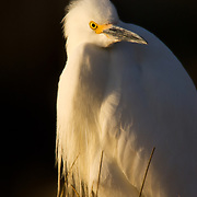 A snowy egret basks in the late afternoon spring sun in the Eagle River near Wolcott Colorado.