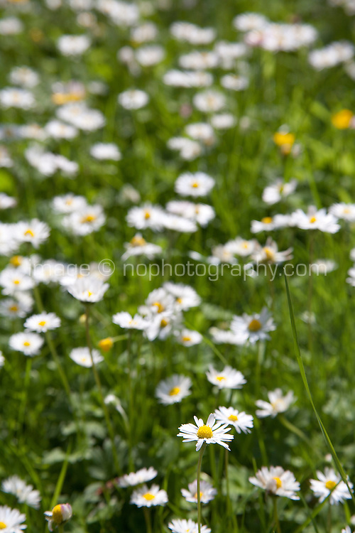 close up of daisy wild flowers growing in an Irish garden