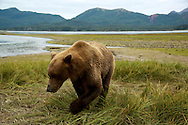 Alaskan Coastal Brown Bear in Kukay Bay in Katmai National Park in Alaska. ©Brett Wilhelm