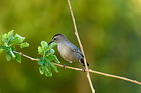 Gray Catbird (Dumetella carolinensis),   Photo: Peter Llewellyn