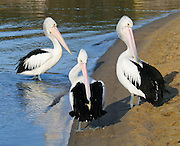 "Three Australian Pelicans preen on Coalmine Beach, Walpole-Nornalup National Park, in southern Western Australia. The Australian Pelican (Pelecanus conspicillatus), also known as the Goolayyalibee, is widespread on the inland and coastal waters of Australia and New Guinea. Compared to other pelican species, they are medium-sized: 1.6 to 1.8 m (5.25 to 6 ft) long with a wingspan of 2.3 to 2.5 m (7.6 to 8.25 ft) and weighing between 4 and almost 7 kg (9 to 15 lbs). They are predominantly white, with black and white wings and a pale, pinkish bill which, like that of all pelicans, is enormous, particularly in the male. Published in ""Light Travel: Photography on the Go"" book by Tom Dempsey 2009, 2010."