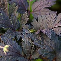 Hillside Black Beauty Snakeroot (Actaea simplex 'Hillside Black Beauty')..