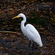 Egret, Point Lobos State Park, California