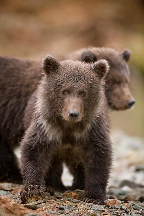 USA, Alaska, Katmai National Park, Kinak Bay, Brown Bear (Ursus arctos) Spring Cubs along river bank on autumn evening