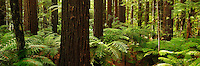 Richard Furhoff 100101_Redwoods_Panorama.tif.Giant Redwoods Forest, Rotorua, New Zealand..