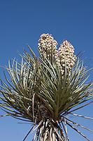 Torrey yucca in bloom, Big Bend National Park. (Yucca Treculeana).