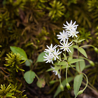 A lone chickweed blossoms in the forest of Great Smoky Mountains NP, TN