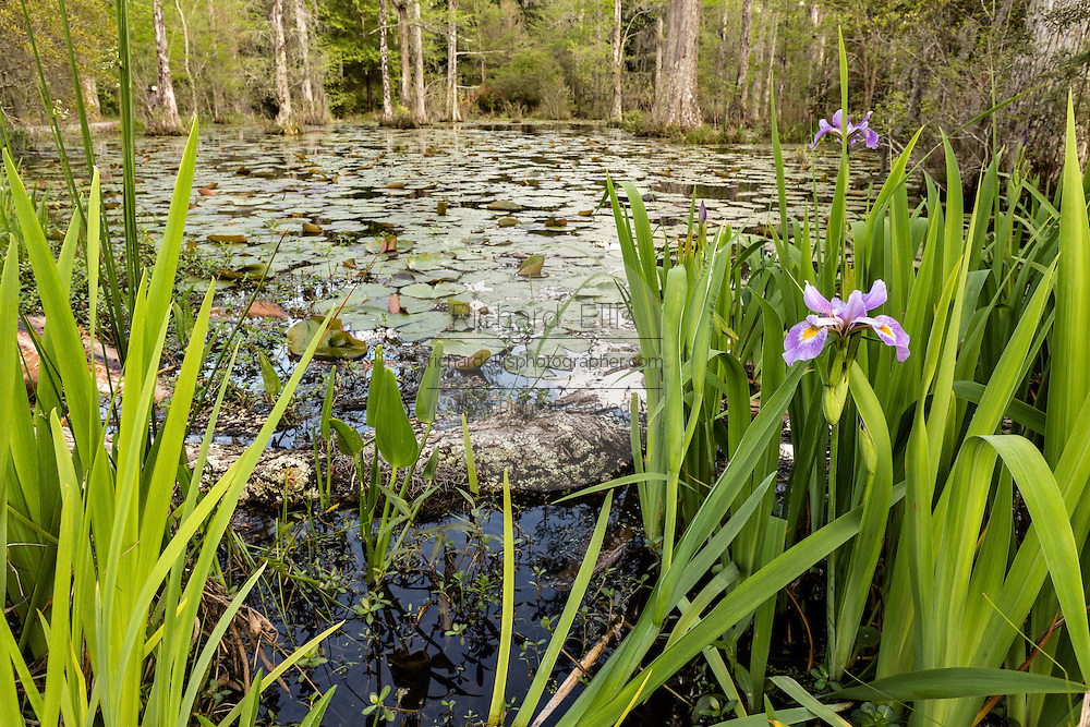 Southern Blue Flag blooming along the blackwater bald cypress and tupelo swamp during spring at Cypress Gardens April 9, 2014 in Moncks Corner, South Carolina.