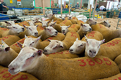 © Licensed to London News Pictures. 22/09/2019. Llanelwedd, Powys, Wales, UK. Charrolais rams wait for tomorrows auction. Inspection and show events take place on the eve of the NSA (National Sheep Association) Wales & Border Ram Sale at the Royal Welsh Showground in Powys, Wales, UK. Two NSA Wales & Border Ram Sales are held each year: An early one in August and the main one in September. Around 4,500 rams from about 30 breeds will be on sale. Photo credit: Graham M. Lawrence/LNP