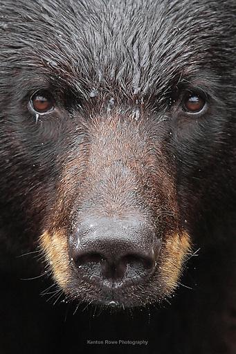 Black Bear Close-Up