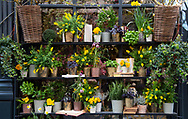 A stylish display of yellow spring flowers in containers outside a flower shop in Paris, France, Europe