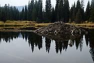 Active beaver lodge in a wetland pond near Kishehehn Patrol Cabin in the northwest corner of Glacier National Park, northwest Montana.