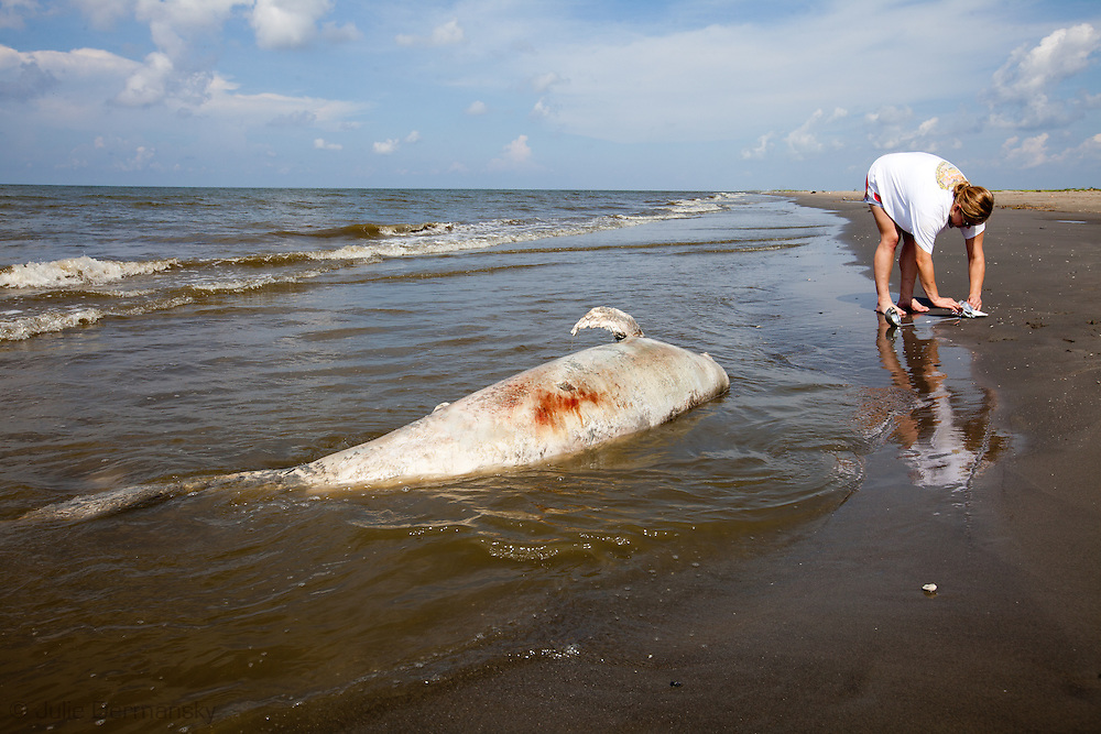 Christina Cossich collecting soil samples near a dead dolphin washed up on beach in Plaquemines Parish along with tar balls over 100 days after the BP oil disaster began. The damage caused by the BP oil spill in the Gulf of Mexico is the worst in American History. The environmental and economic impact has yet to be determined.