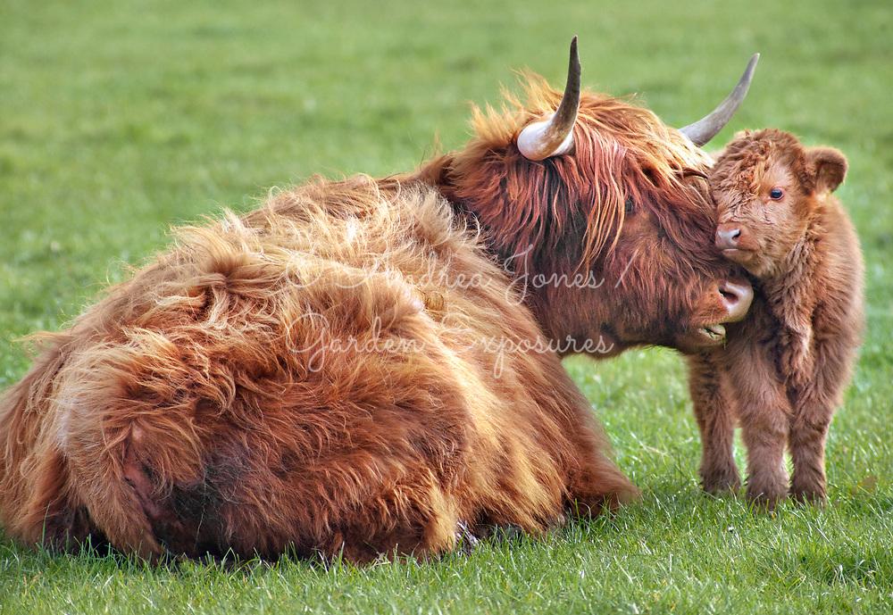 Highland cattle with calves<br /> <br /> Teasses Estate, Ceres, Fife