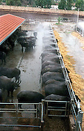 The Vannulo cheese factory in Campania...Tenuta Vannulo..Azienda   Agricola Biologica Antonio Palmieri..Caseificio Vannulo..The shower for the bufales..http://www.vannulo.it/production.html........