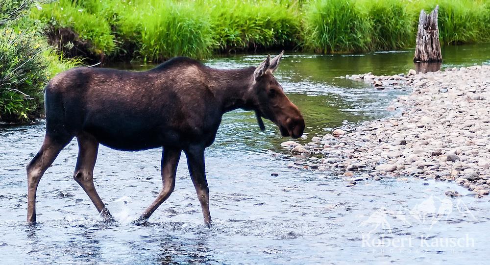 Moose crossing!
