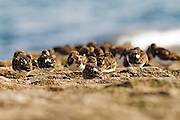 A group of turnstones on a breakwater at Dawlish from a low angle.
