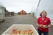 Barb Bauman hämtar äpplen för deras stora äppleslangbella och äpplekanon på Bauman Farms. Gervais, Oregon, USA<br /> Foto: Christina Sjögren