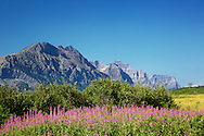 Fireweed, wildflower, St. Mary, Valley, Glacier National Park