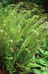 Polystichum setiferum 'Pulcherrimum Bevis' syn. 'Plumosum Bevis'