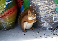 Red Squirrel (Tamiasciurus hudsonicus)		<br /> stealing sunflower seeds from a sack , Cherry Hill, Nova Scotia, Canada,