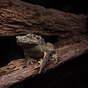 Giant River Toad (Phrynoidis asper) in Khao Pra Bang Khram Wildlife Sanctuary, Krabi, Thailand