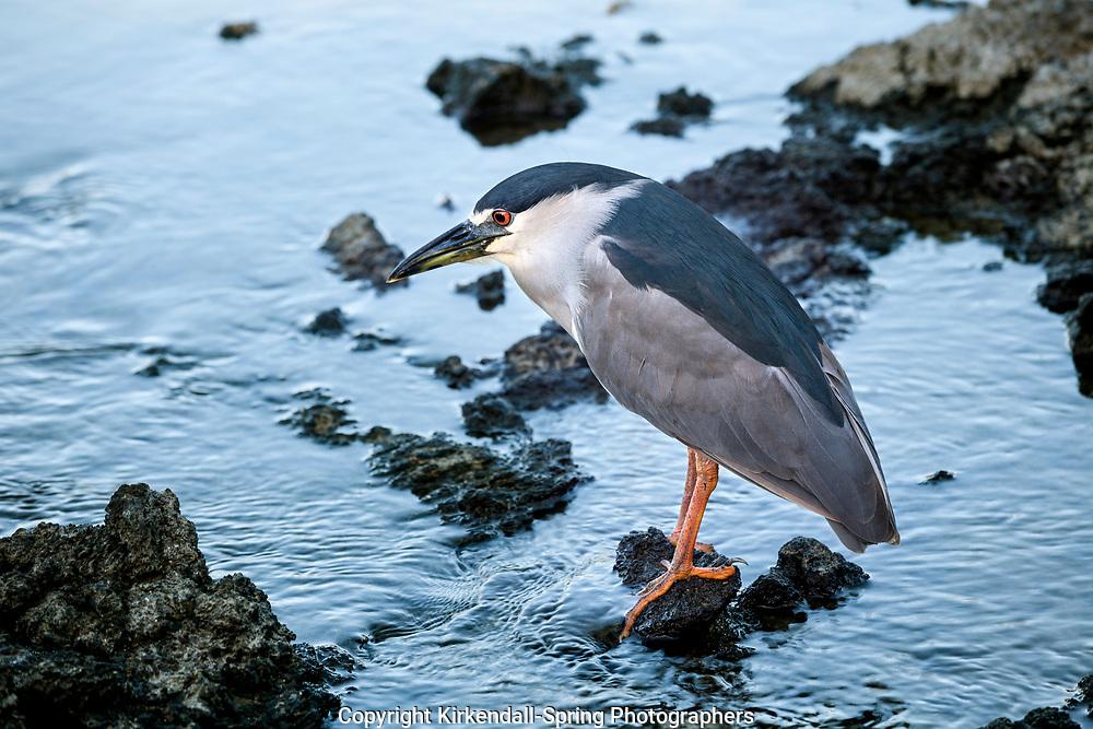 HI00419-00...HAWAI'I - A black-crowned night heron (Nycticorax nycticorax) at Anaeho'omalu Bay on the island of Hawai'i.