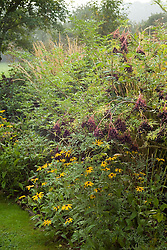 Sambucus nigra f. laciniata with Rudbeckia fulgida var. sullivantii 'Goldsturm'  in an autumn border