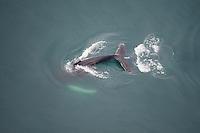 Humpback whale (Megaptera novaeangliae) fluking, Skjalfandi Bay, northern Iceland - aerial