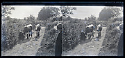 female watching cows walking on a path France circa 1930s