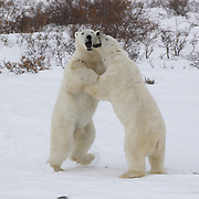 Two polar bears (Ursus maritimus) wrestle during a play-fighting session along the shores of Hudson Bay near Churshill, Manitoba, Canada.