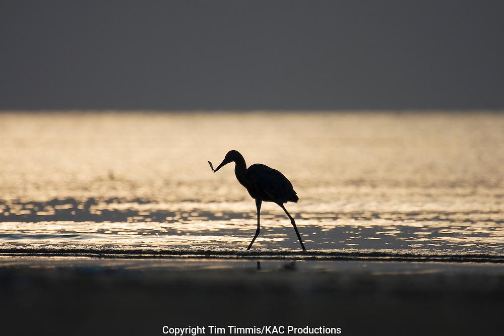 Reddish Egret, Egretta rufescens, Bolivar Flats, Texas gulf coast, silhoutte, fishing