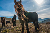 BBC CountryFile Cumbrian Fell Ponies