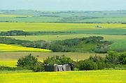 Canola crops and old homestead along the Saskatoon Trail<br /> near North Battleford<br /> Saskatchewan<br /> Canada