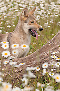 Juvenile Gray wolf, Canis lupus