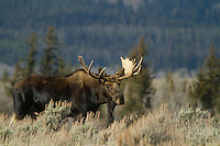 Moose in Grand Teton NP, WY.