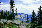 Mountain goat overlooking the Cabinet Mountains in summer. Cabinet Mountains Wilderness Area, Montana