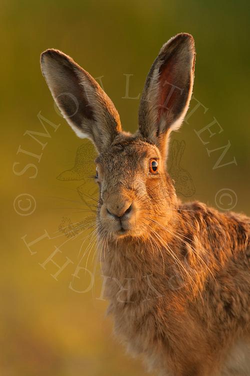 European Hare (Lepus europaeus) adult, alert, close up of head, Norfolk, UK.
