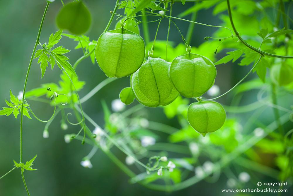 Cardiospermum halicacabum. Balloon vine, Love in a Puff