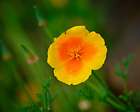California Poppy. Image taken with a Fuji X-H1 camera and 200 mm f/2 lens + 1.4x teleconverter (ISO 200, 280 mm, f/4, 1/450 sec).