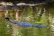 Alligator at Fakahatchee Strand Preserve State Park, the Everglades, Florida, United States of America